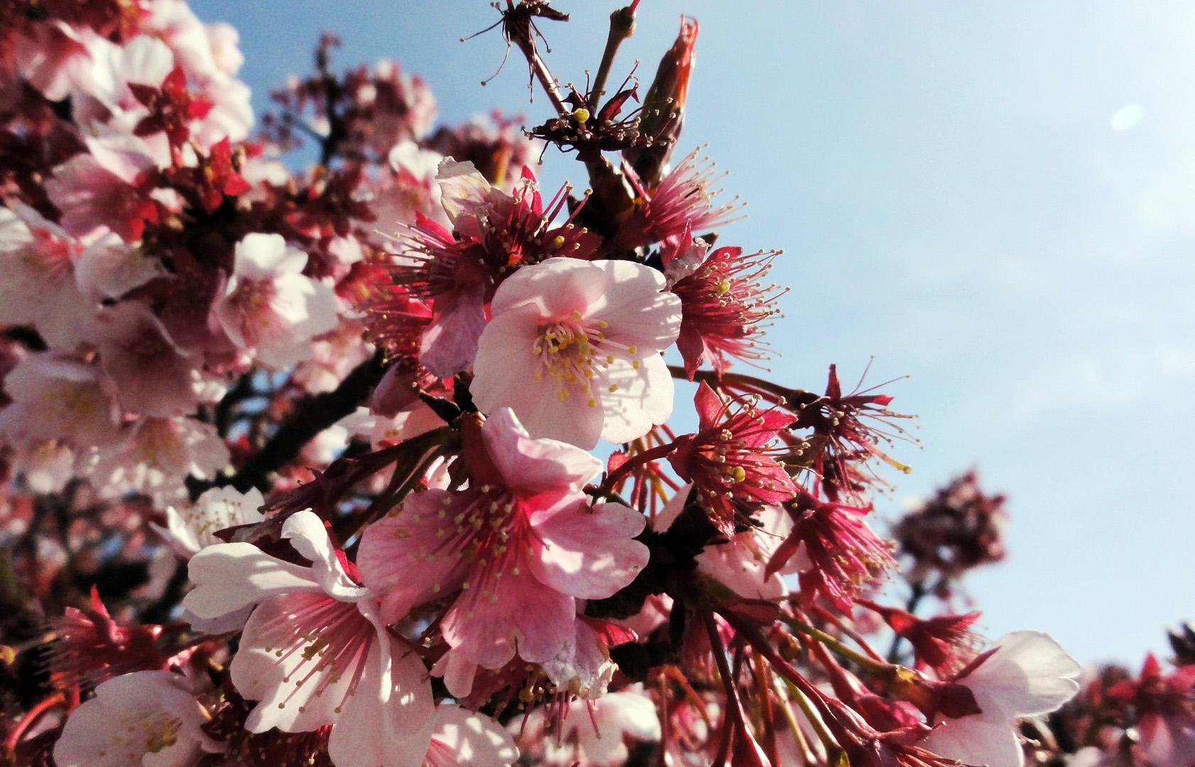 熱海桜は満開