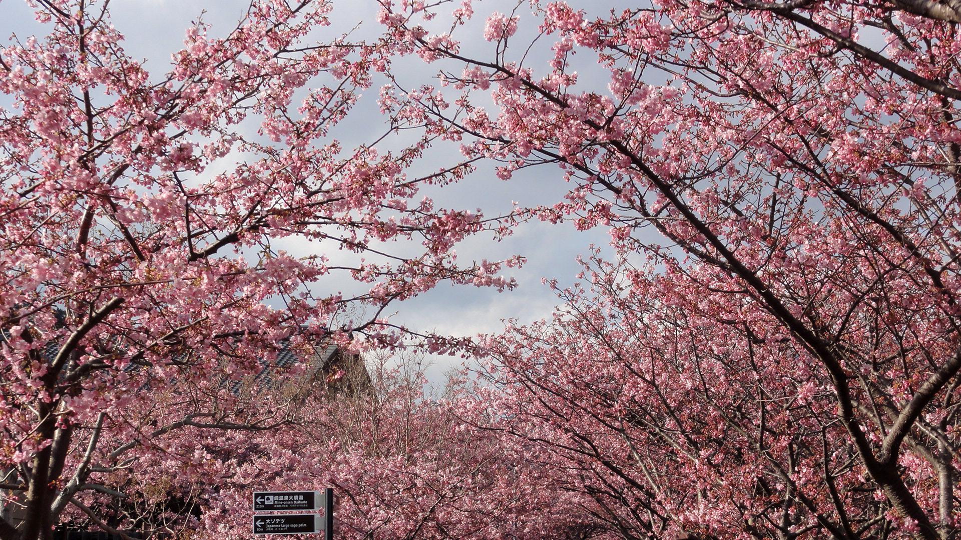 踊り子会館前の桜並木