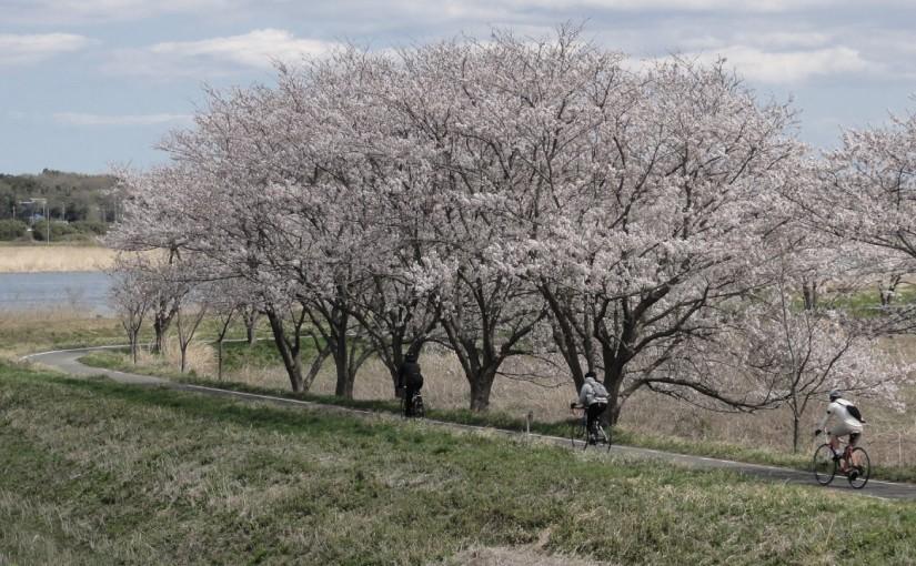 2014年の「吉高の桜」はどうだったのか?幕張をスタートして花見川を遡り印旛沼まで桜を見に行く。