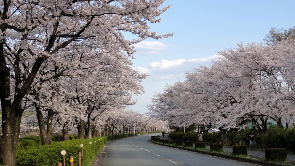 秦野・水無川沿いの桜並木