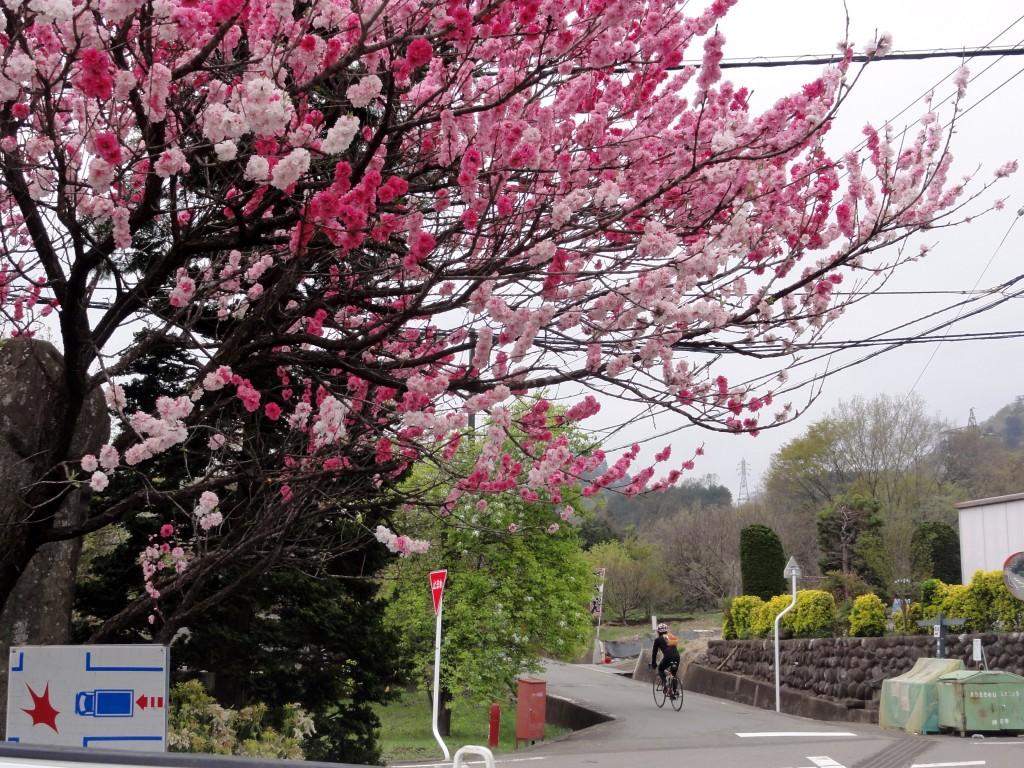 富士みちに平行する道にあった八重桜