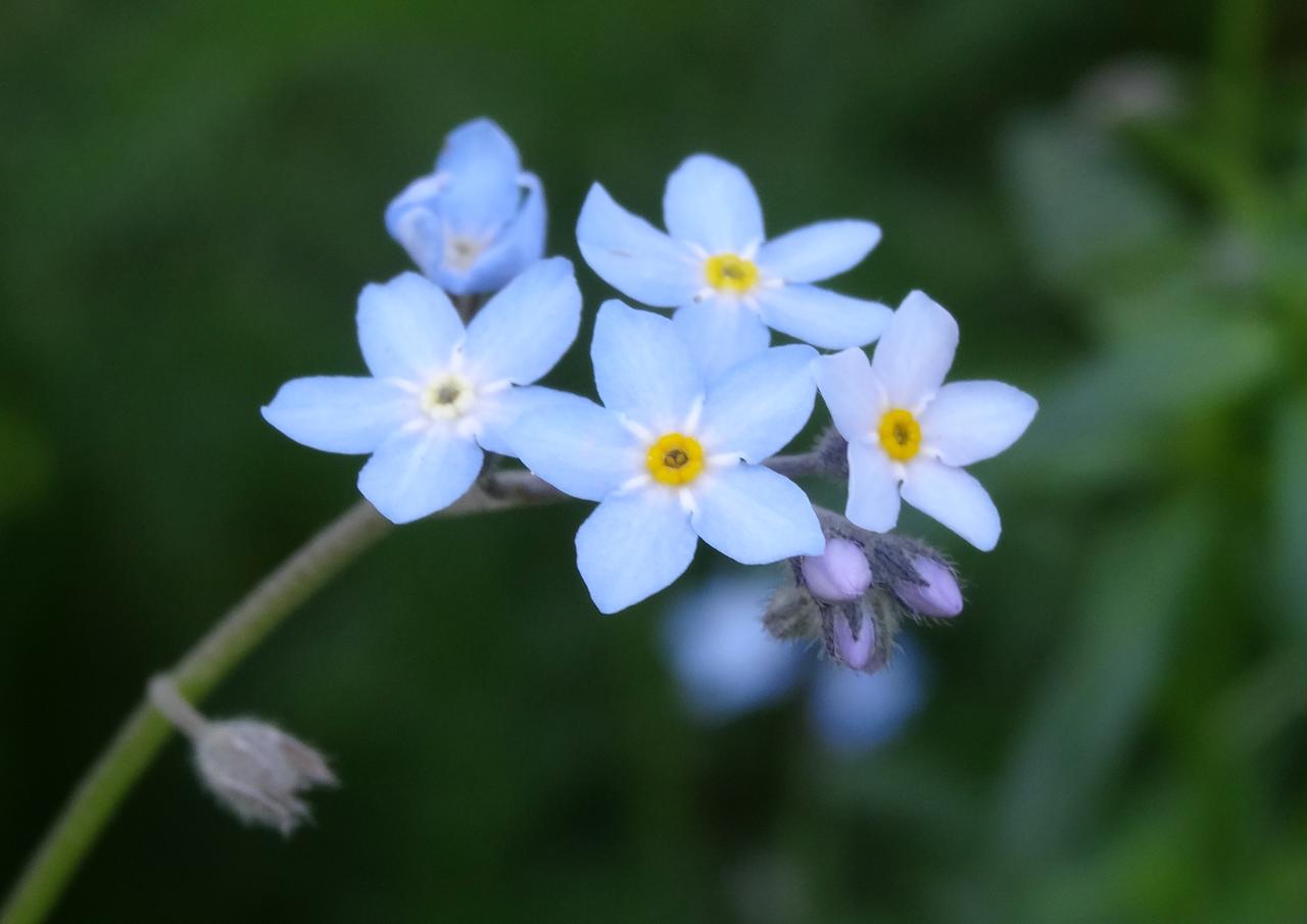 涼しげな花