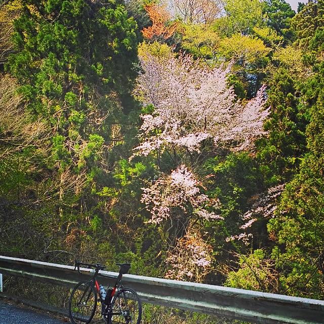 裏ヤビツの桜は見頃 18 April 2015