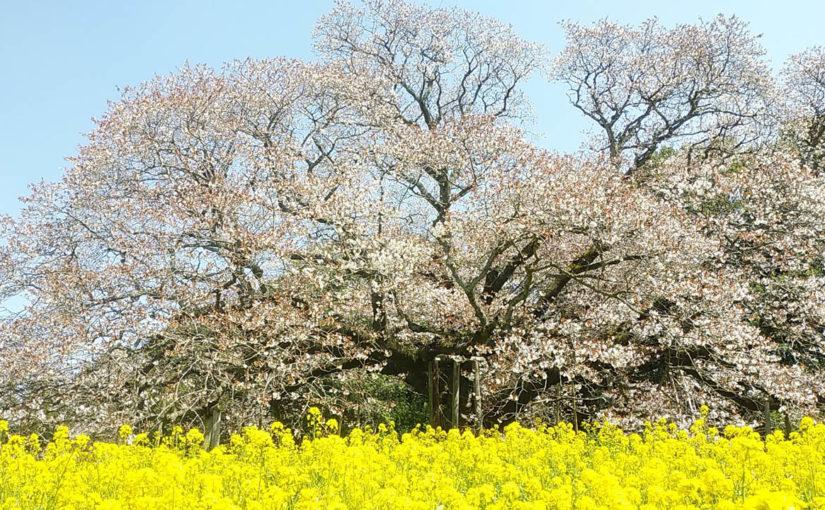 吉高の大桜を見て鰻を食べるライド2019